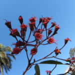 Mugga Eukalyptus Bluete pink Eucalyptus sideroxylon 09