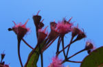 Mugga Eukalyptus Bluete pink Eucalyptus sideroxylon 10