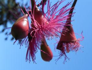 Bild: Mugga Eukalyptus Bluete pink Eucalyptus sideroxylon
