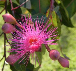 Mugga Eukalyptus Bluete pink Eucalyptus sideroxylon 22