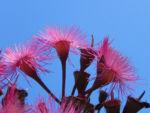 Bild: Mugga-Eukalyptus Blüte pink Eucalyptus sideroxylon