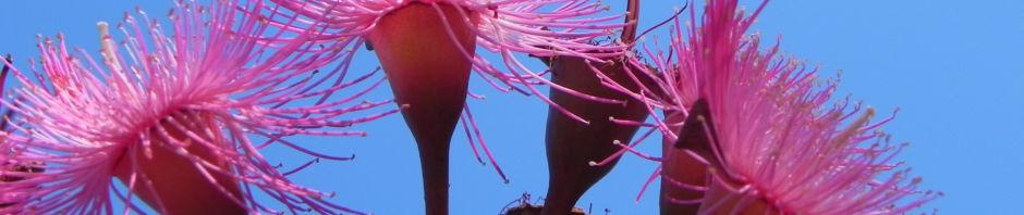 mugga-eukalyptus-bluete-pink-eucalyptus-sideroxylon