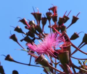 Mugga Eukalyptus Bluete pink Eucalyptus sideroxylon 25