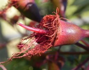 Mugga Eukalyptus Bluete pink Eucalyptus sideroxylon 27
