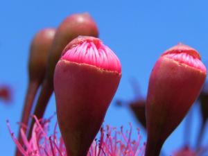 Mugga Eukalyptus Bluete pink Eucalyptus sideroxylon 29