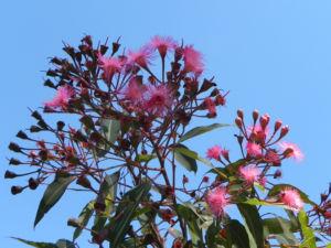 Mugga Eukalyptus Bluete pink Eucalyptus sideroxylon 32