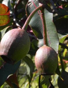 Mugga Eukalyptus Kapseln Eucalyptus sideroxylon 10