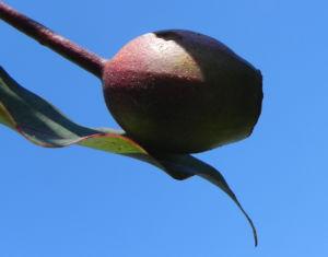 Mugga Eukalyptus Kapseln Eucalyptus sideroxylon 12