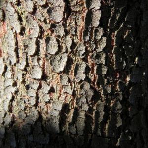 Mugga Eukalyptus Rinde braun Eucalyptus sideroxylon 09