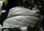 Nachtkerze Blatt gruen Oenothera fruticosa 01