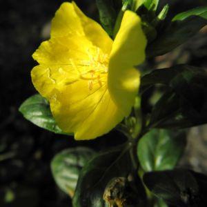 Nachtkerze Bluete gelb Oenothera fruticosa 01