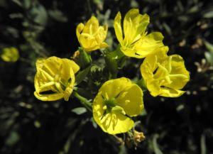 Nachtkerze Bluete gelb Oenothera fruticosa 02