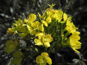 Nachtkerze Bluete gelb Oenothera fruticosa 04