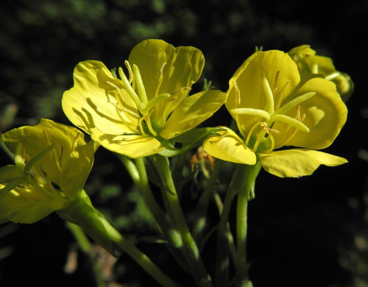 Nachtkerze Bluete gelb Oenothera fruticosa