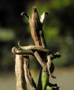 Nachtkerze Frucht braun Oenothera fruticosa 01