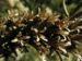 Zurück zum kompletten Bilderset Nachtkerze Oenothera fruticosa