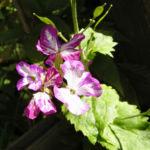 Nachtviole Hesperis matronalis L 01