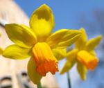 Narzisse Osterglocke Bluete gelb Narcissus pseudonarcissus 02