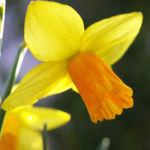 Narzisse Osterglocke Bluete gelb Narcissus pseudonarcissus 03