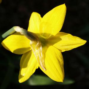 Bild: Narzisse Osterglocke Bluete gelb Narcissus pseudonarcissus