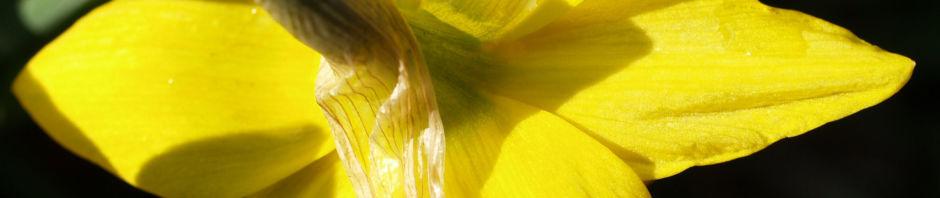 Anklicken um das ganze Bild zu sehen Narzisse Osterglocke Blüte gelb Narcissus pseudonarcissus