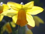Narzisse Osterglocke Bluete gelb Narcissus pseudonarcissus 05