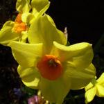 Narzisse gelb orange Narcissus spec 01