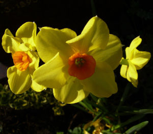 Narzisse gelb orange Narcissus spec 02