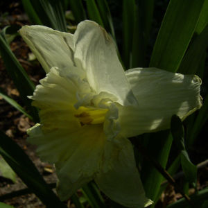 Narzisse hell Narcissus 01