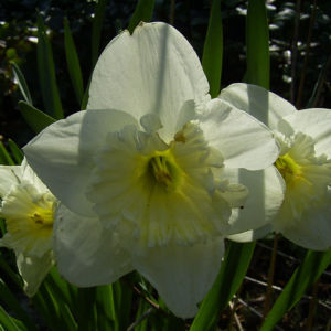 Narzisse hell Narcissus 03
