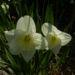 Zurück zum kompletten Bilderset Narzisse Blüte hell gelb weiß Narcissus pseudonarcissus