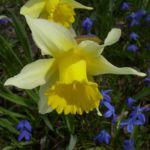 Narzisse Narcissus pseudonarcissus 04