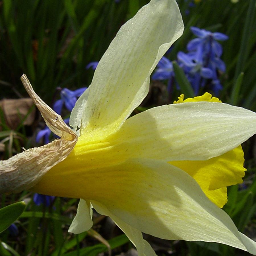 Narzisse Narcissus pseudonarcissus