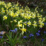 Narzisse Narcissus pseudonarcissus 06