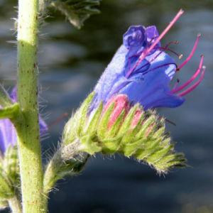 Natterkopf Bluete blau Echium vulgare 14