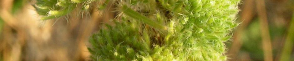 natterkopf-krank-gruen-echium-vulgare