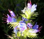 Natternkopf Kraut Bluete blau Echium vulgare 01