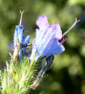 Bild: Natternkopf Kraut Bluete blau Echium vulgare