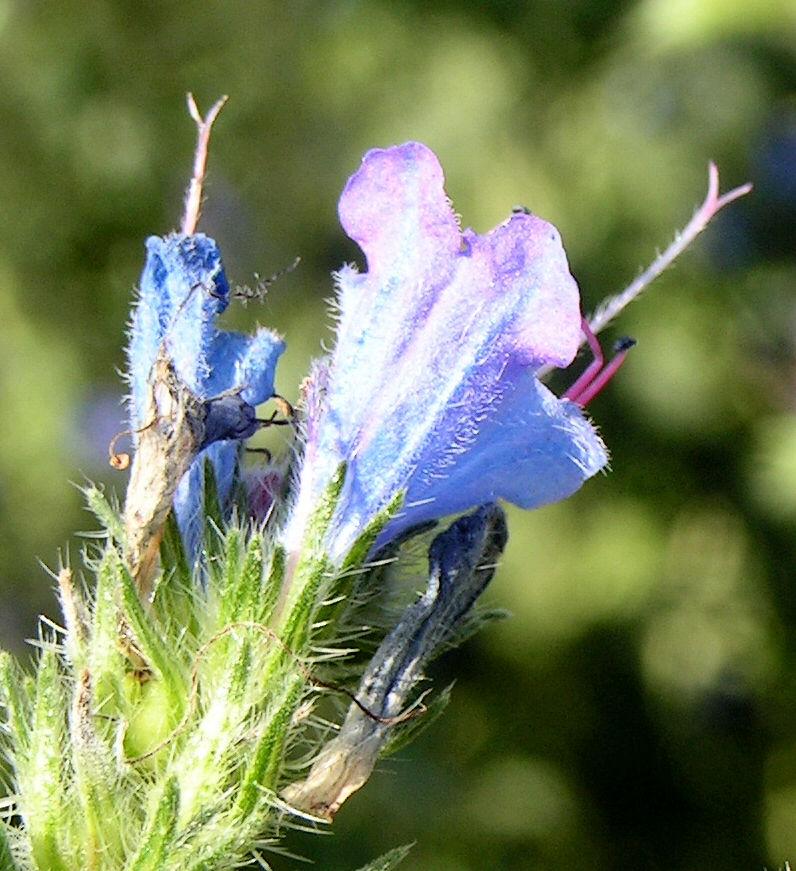 Natternkopf Kraut Bluete blau Echium vulgare