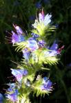 Natternkopf Kraut Bluete blau Echium vulgare 05