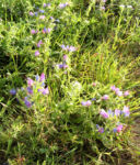 Bild: Blauer Natternkopf Blüte blau Echium vulgare