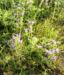 Zurück zum kompletten Bilderset Blauer Natternkopf Blüte blau Echium vulgare