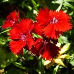 Nelke knallrote Bluete Dianthus chinensis 01
