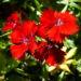 Zurück zum kompletten Bilderset Chinesische Nelke knallrote Blüte Dianthus chinensis
