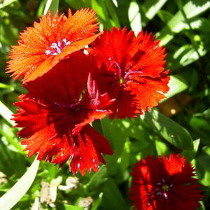 Nelke knallrote Bluete Dianthus chinensis 02
