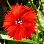 Nelke knallrote Bluete Dianthus chinensis 03