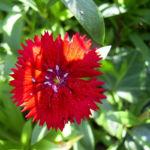 Nelke knallrote Bluete Dianthus chinensis 04