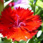 Nelke knallrote Bluete Dianthus chinensis 05