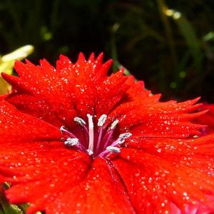 Nelke knallrote Bluete Dianthus chinensis 06