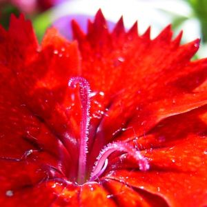Nelke knallrote Bluete Dianthus chinensis 07